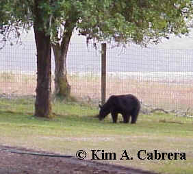 Bear in yard at Prairie Creek Redwoods State Park.