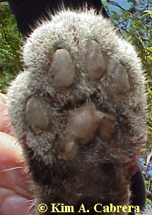 Bobcat front paw.