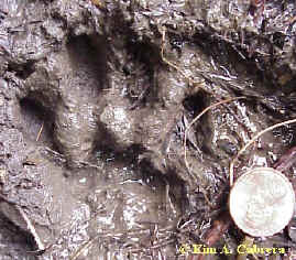Bobcat track at Prairie Creek Redwoods State Park, CA. June 11, 2000. Elk Prairie Trail.