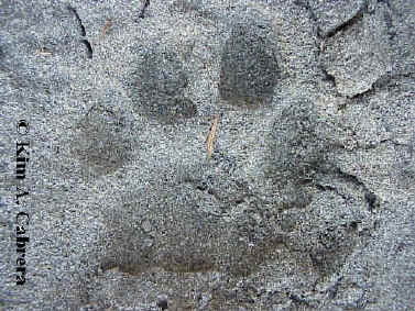 Cougar track in sand. Left front foot. Photo by Kim A. Cabrera.