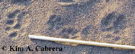 Two sets of mountain lion tracks with a stick for size. Tracks in center are raccoon.