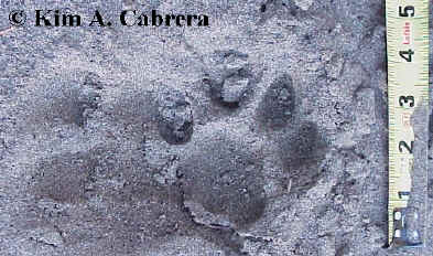 Nearly perfect mountain lion track