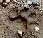 Mountain lion track