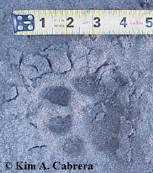 Cougar track with ruler for size.