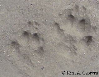 Pair of fox tracks.