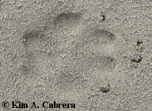 Gray fox track in sand.