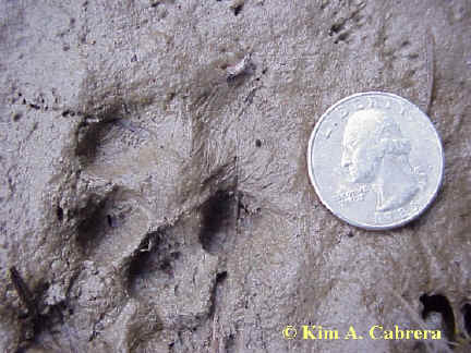 Gray fox track in mud. Mouse tracks in upper right.