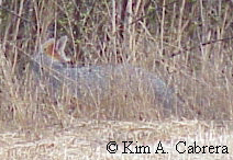 Gray fox in the grass.