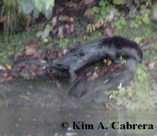 otter exploring