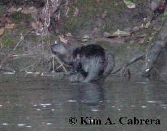 otter on bank