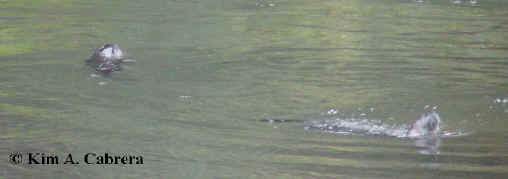 two otters in the water