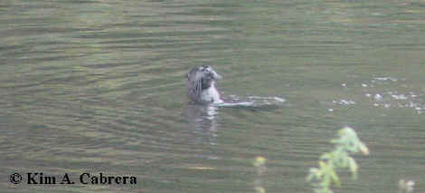 Otter floating