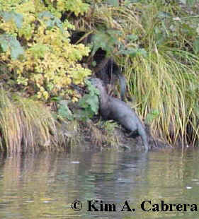 otters on the bank