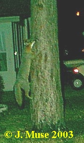Gray fox climbs tree. Photo by J. Muse 2003.