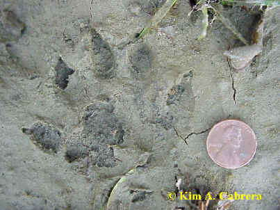 otter print with some webbing visible