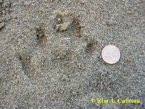 slightly older otter track showing signs of                       rain